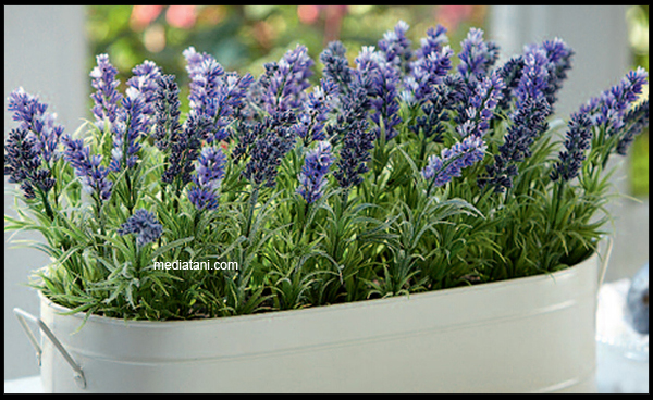73+ Gambar Bunga Zodia Paling Cantik